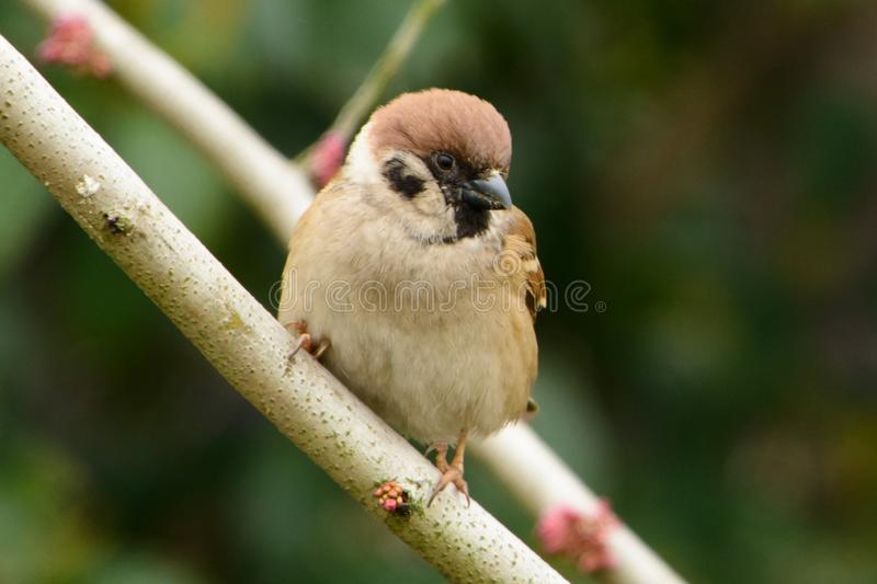 A sparrow on the branch of a tree royalty free stock photo