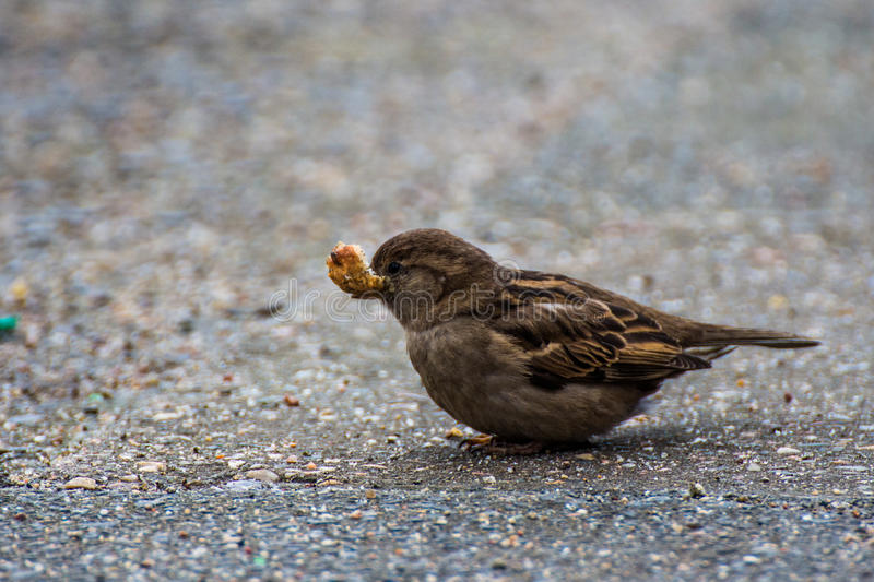 Sparrow with bread. In his spout stock photos