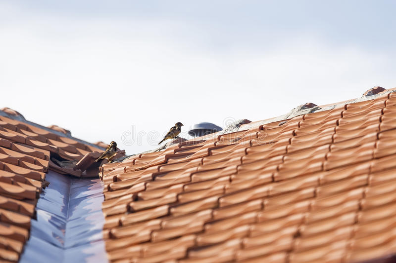 Sparrow on a building roof. On a sunny day royalty free stock image