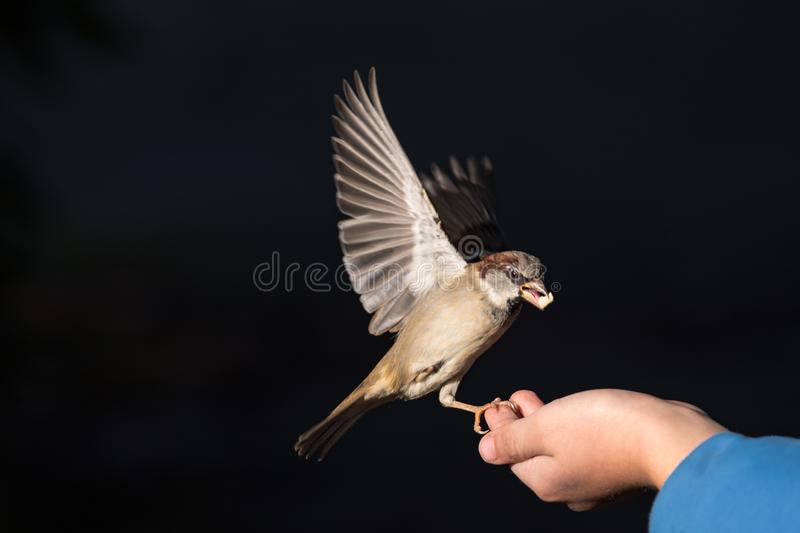 Sparrow can be fed by hand stock photo