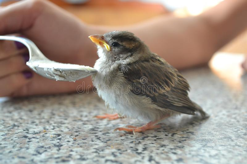 Sparrow chick perched on table, nurse by spoon stock photos