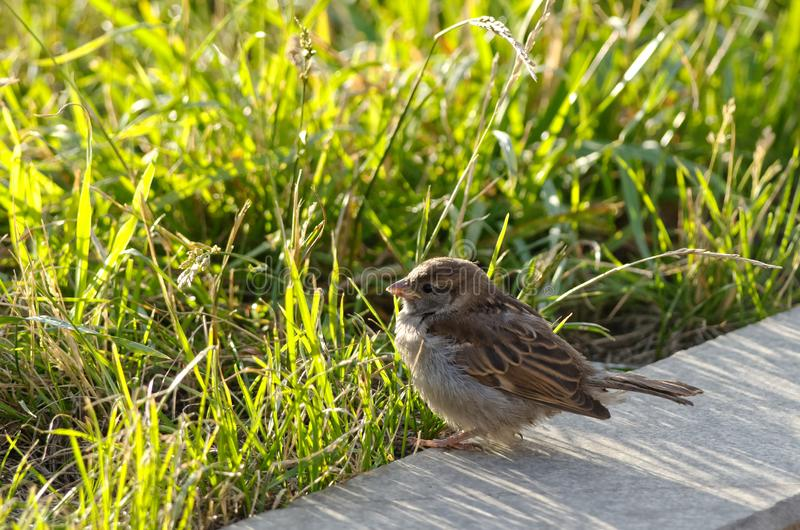 Sparrow chick in the sun among the tall grass royalty free stock photos