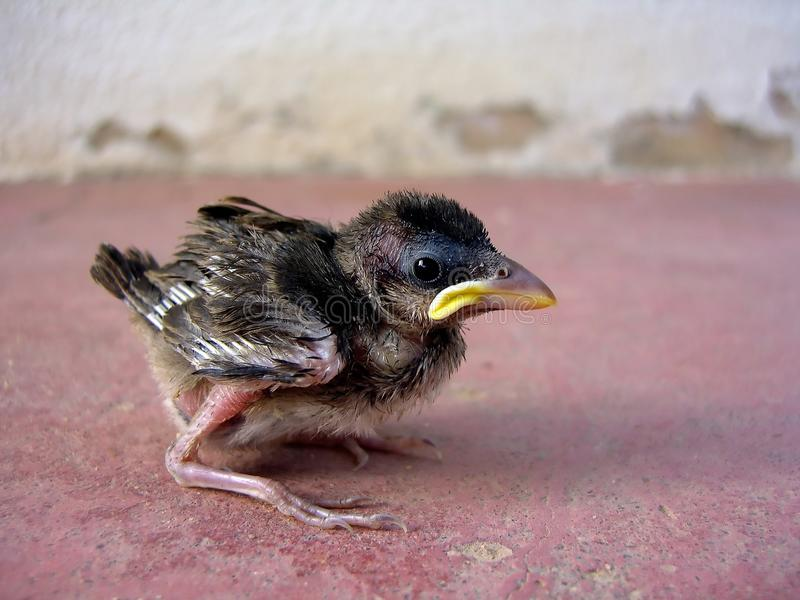Sparrow chick royalty free stock photography
