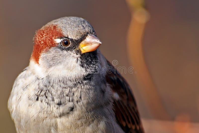 Sparrow close-up royalty free stock photos