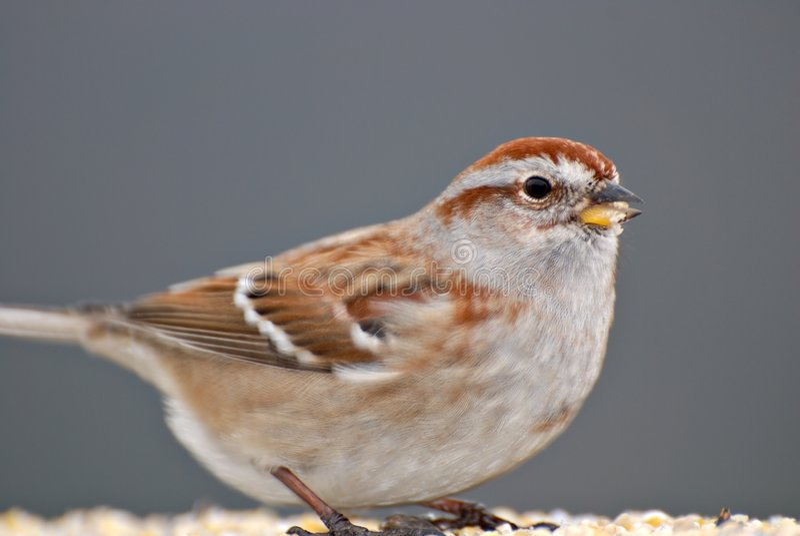Sparrow Close Up stock photos