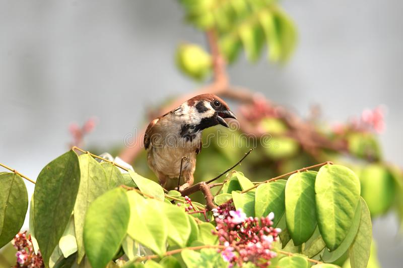 Sparrow are docile birds that are small, brown-gray royalty free stock images