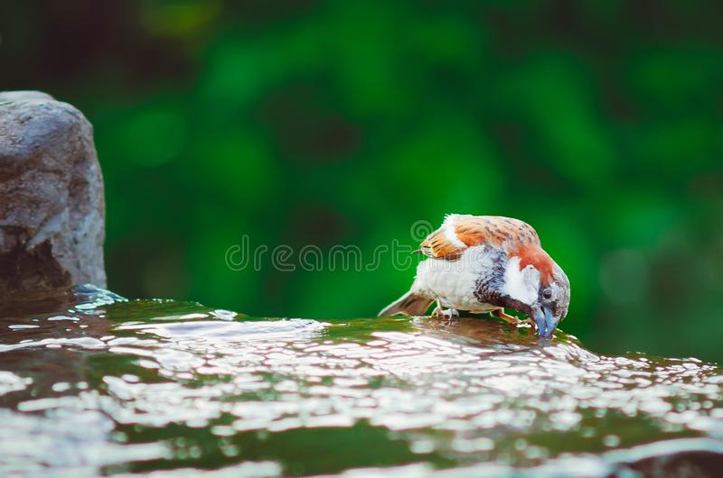 A sparrow drinks water on a hot summer day stock images