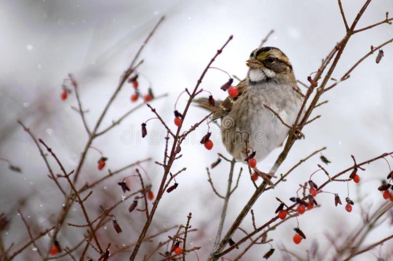 Sparrow Eating Berries. A white-throated sparrow in a bush eating berries royalty free stock images