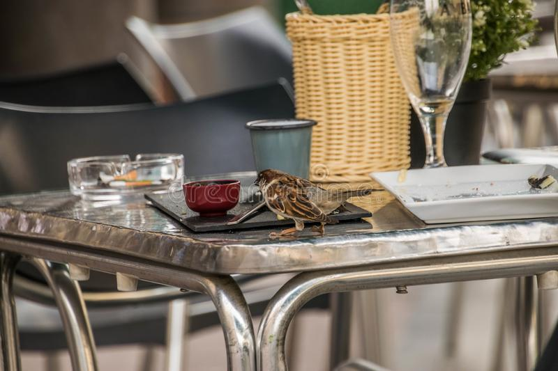 Sparrow eating on a table in a cafeteria. Outdoor royalty free stock image