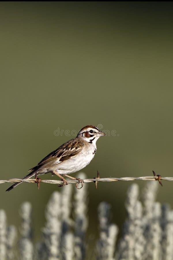 sparrow för chondestesgrammacuslark arkivbilder