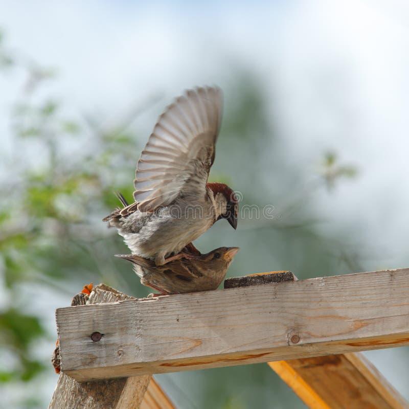 sparrow för domesticushusförbipasserande arkivbilder