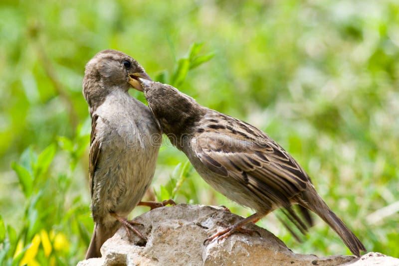 sparrow för domesticushusförbipasserande royaltyfri bild