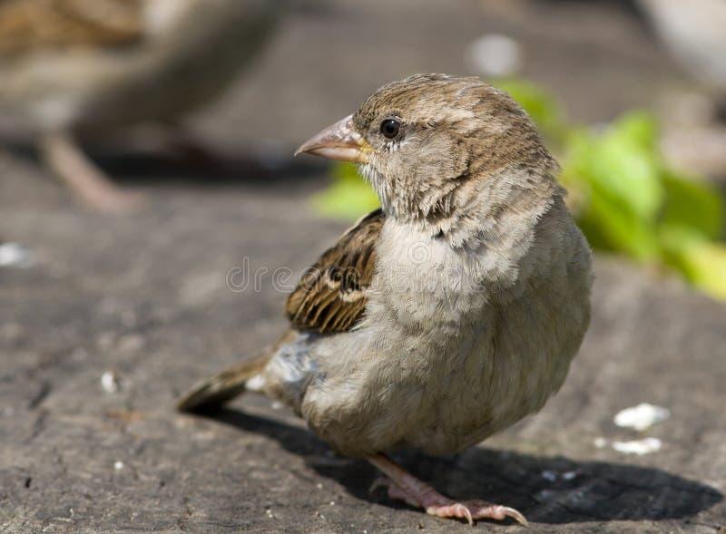 sparrow för domesticushusförbipasserande royaltyfri fotografi