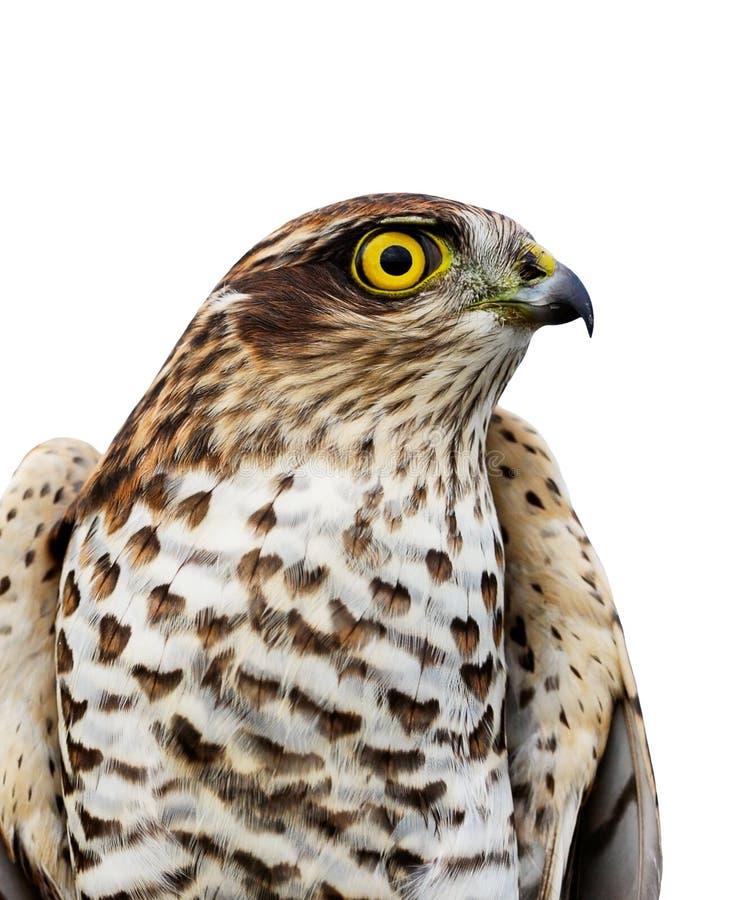 sparrow för fågelEuropa hök arkivfoton