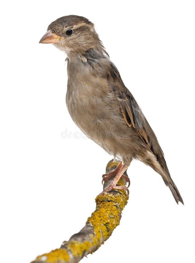 sparrow för förbipasserande för domesticuskvinnlighus royaltyfri bild