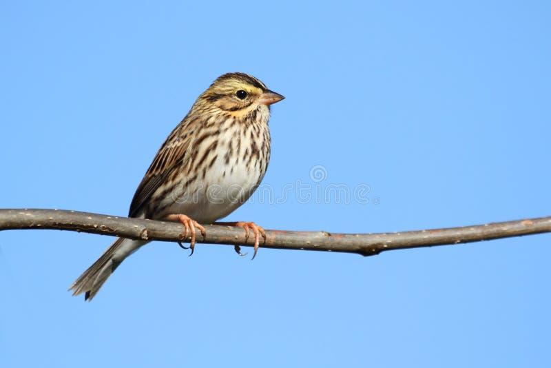sparrow för passerculussandwichensissavannah royaltyfria bilder