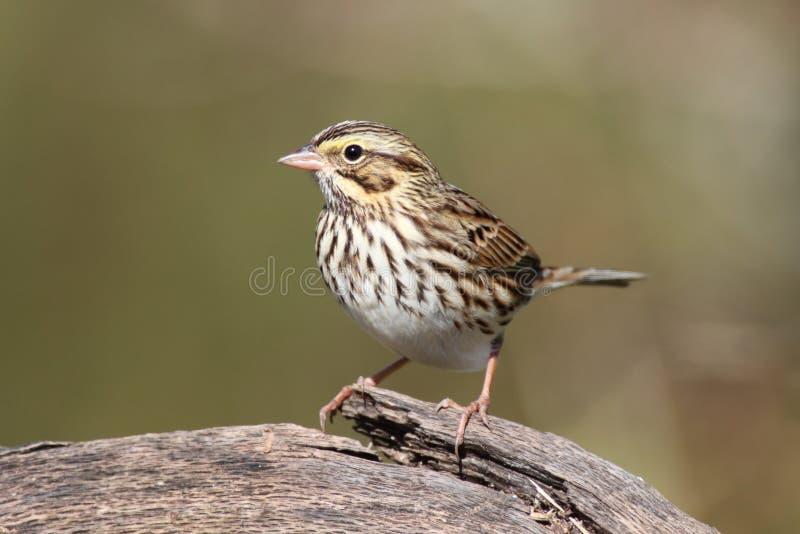 sparrow för passerculussandwichensissavannah royaltyfria foton
