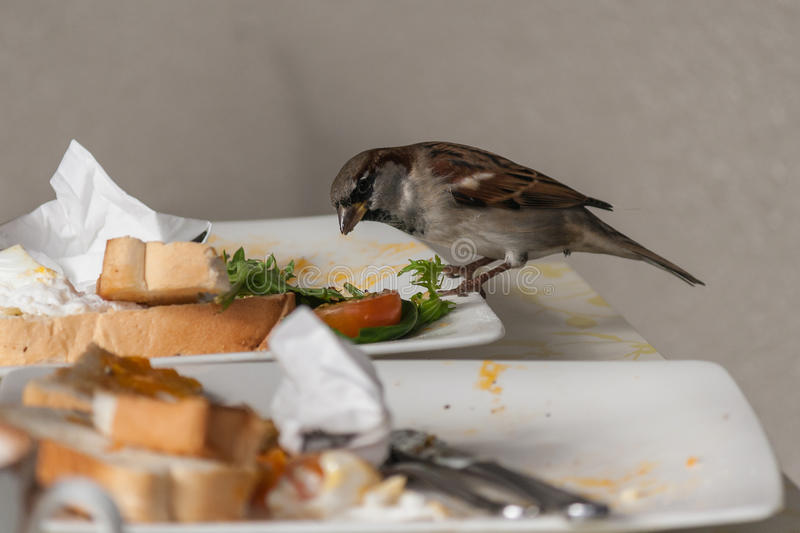 Sparrow feeding on leftovers. In restaurant stock photography