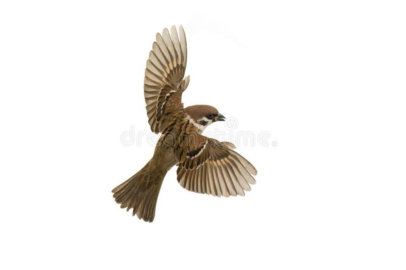 Sparrow flies royalty free stock images