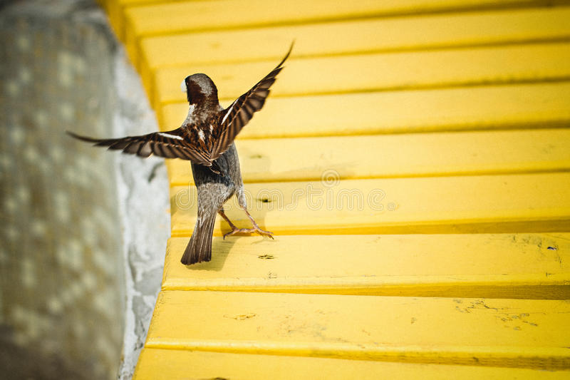 Sparrow flies with yellow benches in the Park stock photo