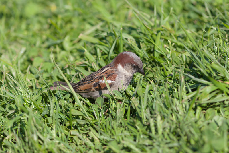 Download Sparrow in a green grass stock image. Image of passer - 26643315