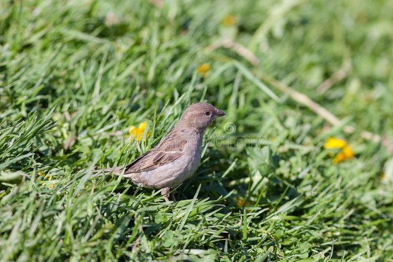 Sparrow in green summer grass. Portrait of a sparrow in green summer grass stock images
