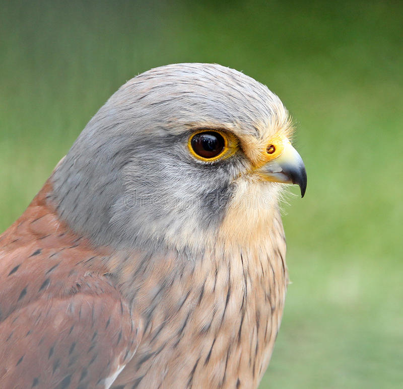 Kestrel bird of prey. Photo of a beautiful kestrel bird of prey on display at whitstable fun day show on 16th june 2013 stock photography