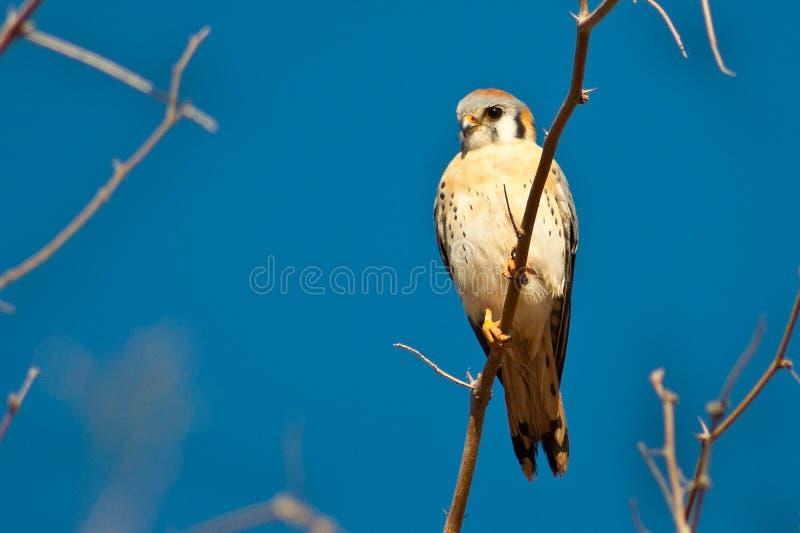 Sparrow Hawk royalty free stock photography