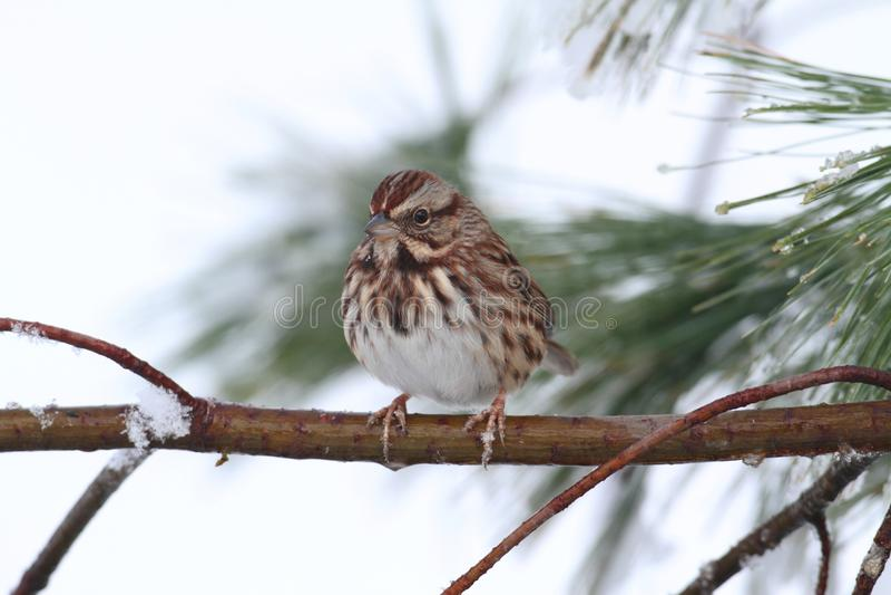 Sparrow i Snow arkivbild