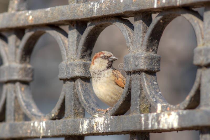 Sparrow on the iron fence stock photo