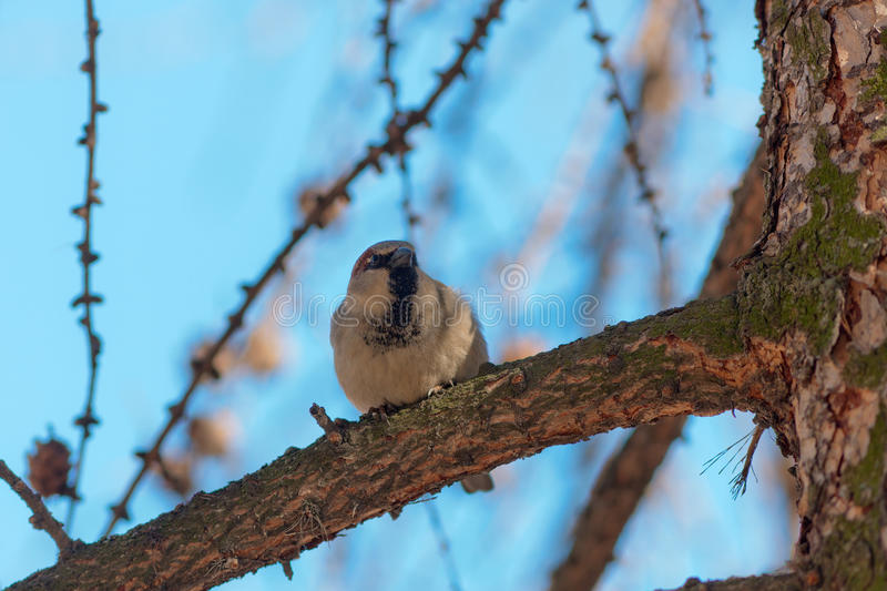 Download Sparrow on a larch branch stock image. Image of twig - 24292865