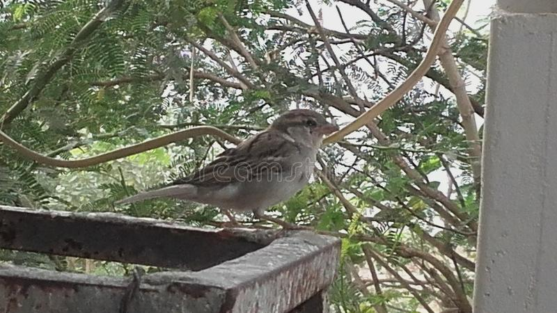 A sparrow royalty free stock photography