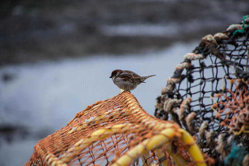 Sparrow on a Lobster pot royalty free stock photography