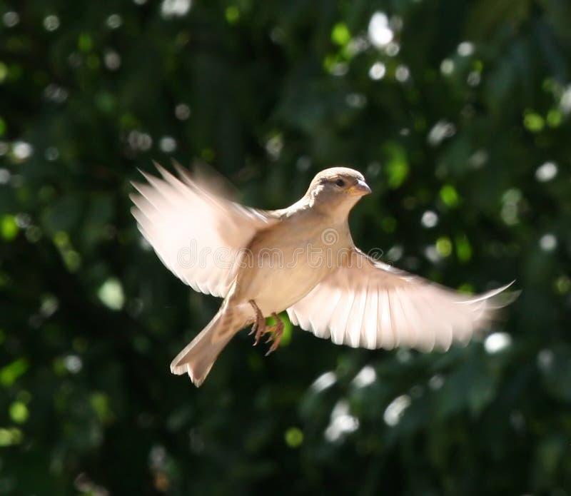 sparrow majestic zdjęcia stock