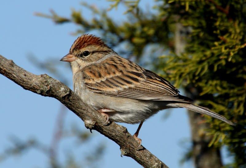 sparrow odpryskiwanie zdjęcie royalty free