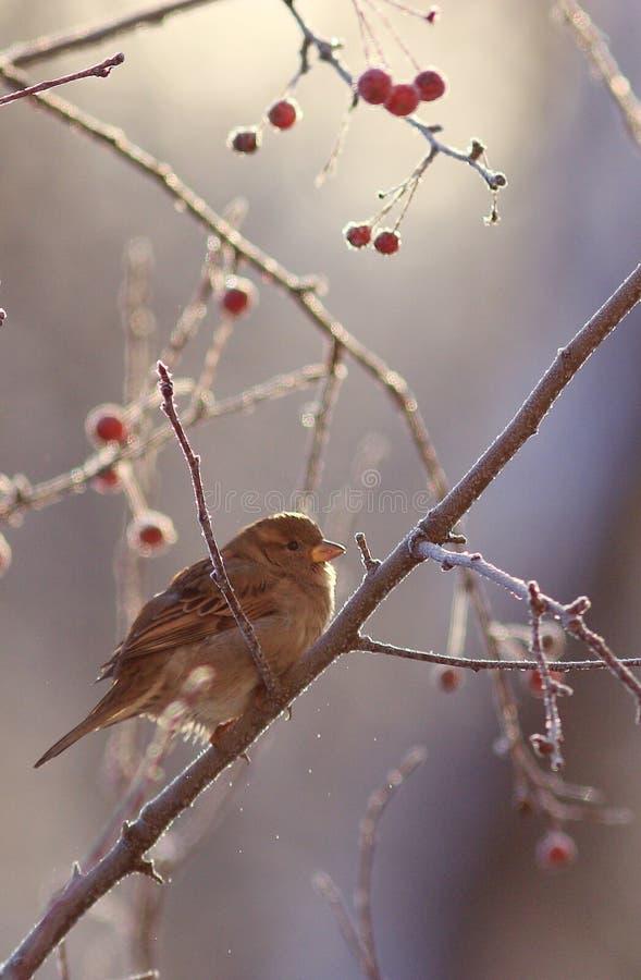 Sparrow på en förgrena sig arkivbild