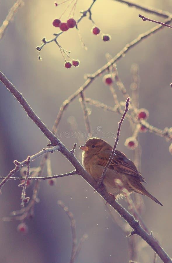 Sparrow på en förgrena sig royaltyfri bild