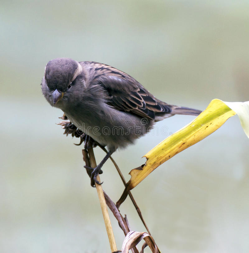 Sparrow på en fatta arkivbild