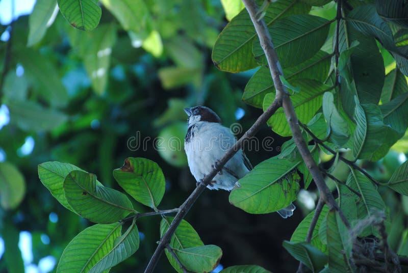 Sparrow på ett guava-träd royaltyfria foton