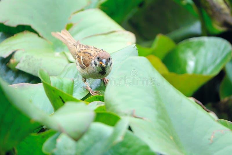 Sparrow på lövbladet fotografering för bildbyråer