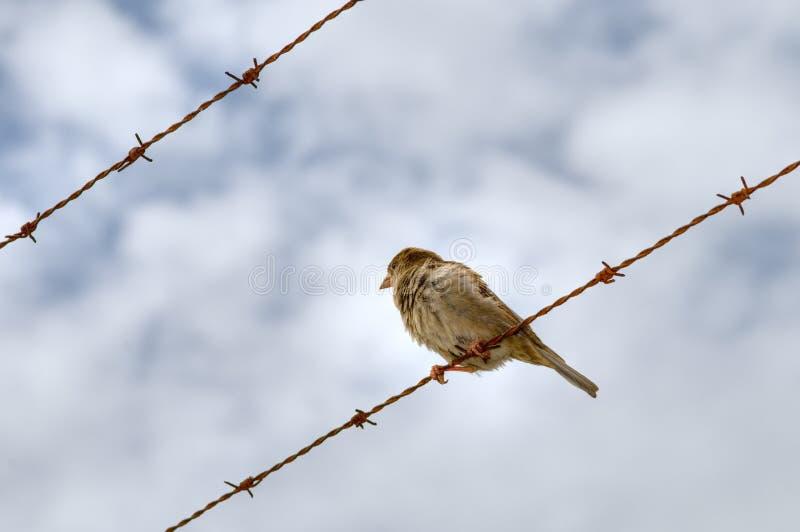 Sparrow på taggtråd arkivfoton