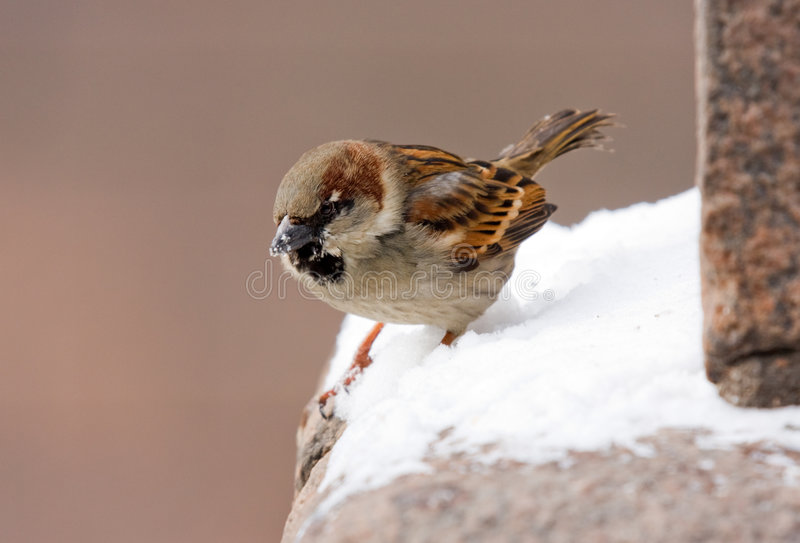 Download Sparrow on a parapet stock photo. Image of male, macro - 4631182