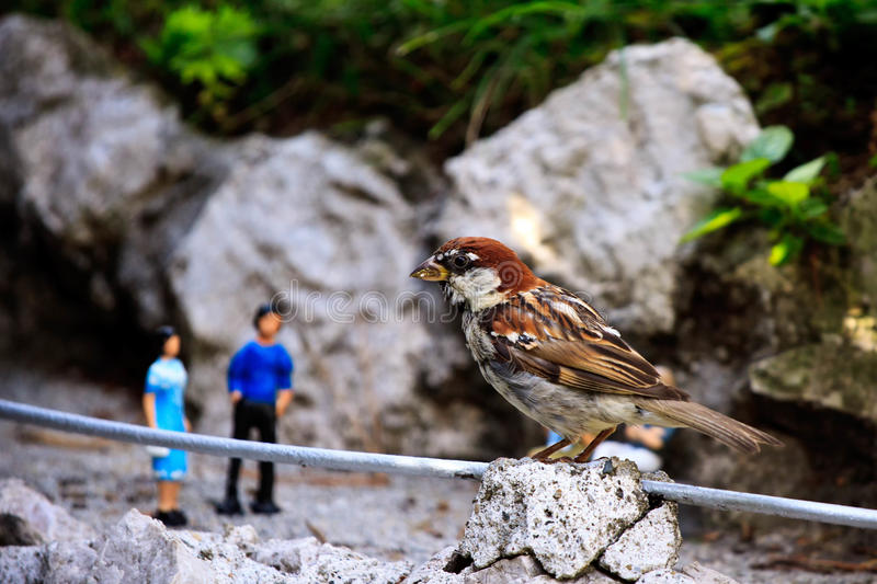Sparrow in park. Sparrow sitting on a Switzerland miniature royalty free stock images