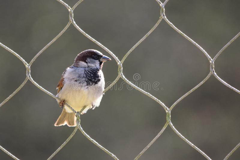 Sparrow perched on a loop of a big wire fence. A symbol of freedom, this small wild male house sparrow is able to fly freely through the loops of a wire fence stock photos