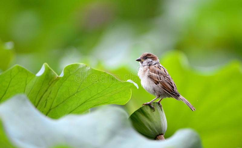 Download Sparrow Pond stock photo. Image of feeding, outdoors - 32968092