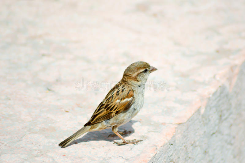 Sparrow posed on a stone. Near the lake of guard in italy royalty free stock image