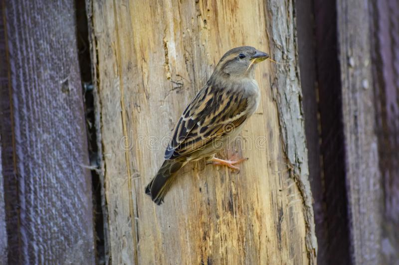 Sparrow posed on a wooden hut. In a park in France royalty free stock photo