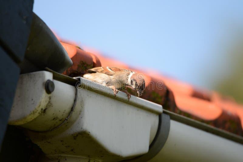 Sparrow ready to feed chicks royalty free stock photo