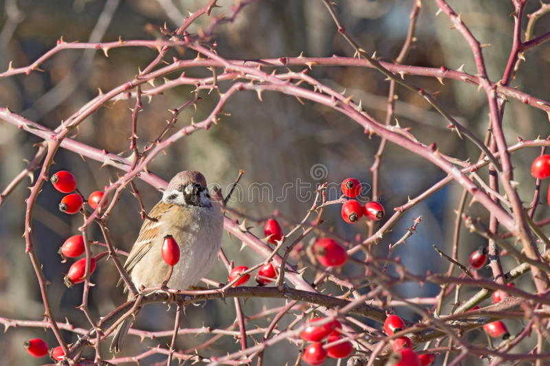 Sparrow among red rose hips on a cold winter day stock image