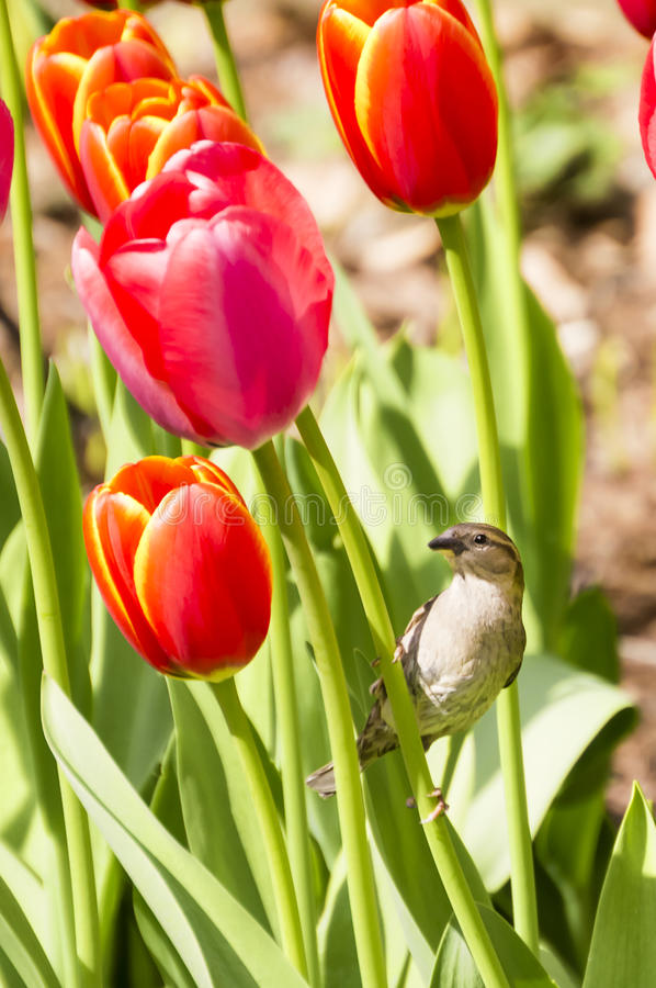 Sparrow Resting on Tulips. Female House Sparrow Resting on Tulips royalty free stock photo